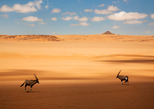 Two oryx standing in the African desert.の写真素材 [FYI02262541]