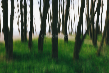 Blurred motion abstract of elm trees with thin straight trunks near the beach and ocean in distance.の写真素材 [FYI02262542]