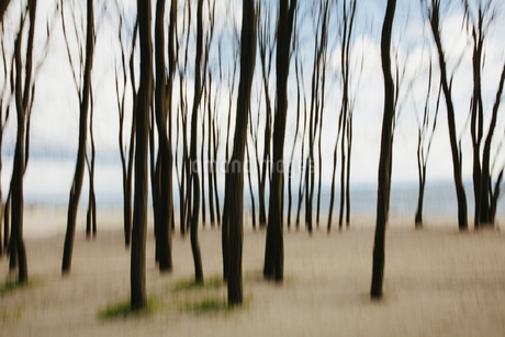 Blurred motion abstract of elm trees with beach and ocean in distanceの写真素材 [FYI02262544]