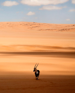 Rear view of oryx standing in the African desert.の写真素材 [FYI02262594]