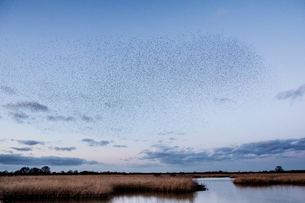 A murmuration of starlings, a spectacular aerobatic display of a large number of birds in flight atの写真素材 [FYI02262628]