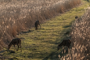 High angle view of deer grazing along a narrow grass trail lined by tall reeds.の写真素材 [FYI02262642]