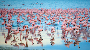 Reflection of large flock of pink flamingos standing in a lake.の写真素材 [FYI02262734]
