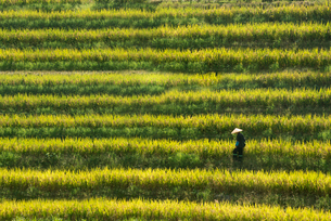 High angle view of person wearing traditional straw hat walking through rice field.の写真素材 [FYI02262778]