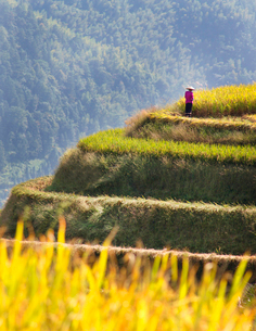 Distant view of person wearing pink top and traditional straw hat standing on top of rice terrace.の写真素材 [FYI02262909]