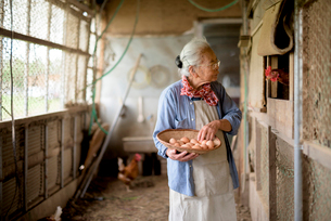 Elderly woman with grey hair standing in a chicken house, holding basket, collecting fresh eggs.の写真素材 [FYI02263125]