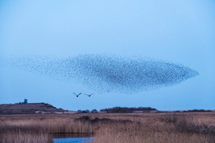 Spectacular murmuration of starlings, a swooping mass of thousands of birds in the sky.の写真素材 [FYI02263176]