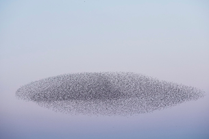 Spectacular murmuration of starlings, a swooping mass of thousands of birds in the sky.の写真素材 [FYI02263347]