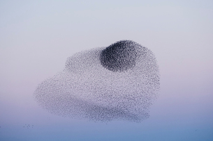Spectacular murmuration of starlings, a swooping mass of thousands of birds in the sky.の写真素材 [FYI02263430]