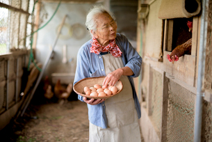 Elderly woman with grey hair standing in a chicken house, holding basket, collecting fresh eggs.の写真素材 [FYI02263468]