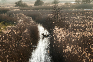 High angle view of deer in a narrow stream lined by tall reeds.の写真素材 [FYI02263561]