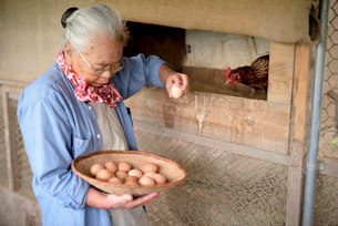 Elderly woman with grey hair standing in a chicken house, holding basket, collecting fresh eggs.の写真素材 [FYI02263594]