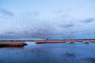 A murmuration of starlings, a spectacular aerobatic display of a large number of birds in flight atの写真素材 [FYI02263663]