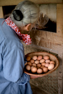 Elderly woman with grey hair standing in a chicken house, holding basket, collecting fresh eggs.の写真素材 [FYI02263742]