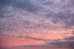 A murmuration of starlings, a spectacular aerobatic display of a large number of birds in flight atの写真素材 [FYI02263845]
