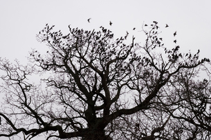 A winter garden, crown of a tree against a grey sky with birds flying past.の写真素材 [FYI02264063]
