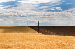 Landscape with golden filed and pylons lining rural road under a cloudy sky.の写真素材 [FYI02264121]