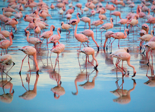 Reflection of large flock of pink flamingos standing in a lake.の写真素材 [FYI02264160]
