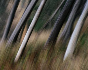 Tree trunks, white straight and smooth leaning at an angle, Arcadia Beach State Park, Oregonの写真素材 [FYI02264199]