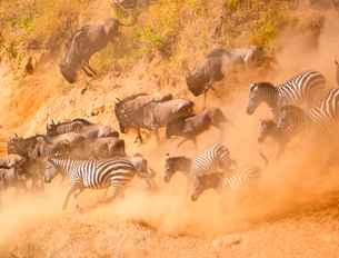 High angle view of herd of  wildebeest and zebras running down a dusty slope.の写真素材 [FYI02264214]