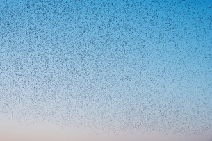 Spectacular murmuration of starlings, a swooping mass of thousands of birds in the sky.の写真素材 [FYI02264226]