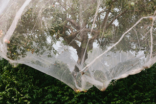 Protective mesh fabric covering apple trees bearing young fruit in summer in a commercial orchard. Pの写真素材 [FYI02264875]