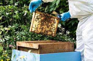 Beekeeper wearing protective suit at work, inspecting wooden beehive.の写真素材 [FYI02264900]