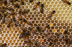 Close up of bees and honeycomb in wooden beehive.の写真素材 [FYI02264904]