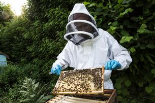 Beekeeper wearing protective suit at work, inspecting wooden beehive.の写真素材 [FYI02264931]