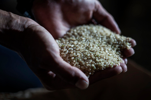 High angle close up of farmer holding heap of barley in his palm.の写真素材 [FYI02264939]