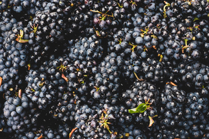 High angle close up of freshly picked bunches of black grapes at a vineyard.の写真素材 [FYI02264965]