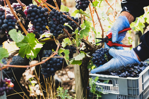 Close up of person wearing rubber gloves and holding secateurs harvesting bunches of black grapes inの写真素材 [FYI02265016]