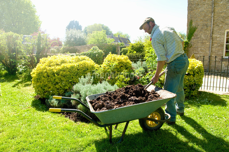A man gardening, using a fork to add mulch and fertiliser to soil around mature shrubs.の写真素材 [FYI02265065]