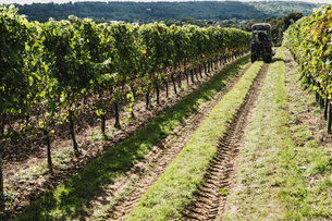 View along rows of vines on a vineyard with tractor in the distance.の写真素材 [FYI02265102]