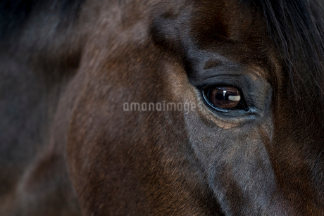 Close up of the head and bright eye of a brown bay horse.の写真素材 [FYI02265112]