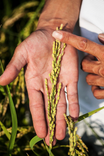 High angle close up of farmer holding rice plant in his palm.の写真素材 [FYI02265139]