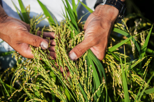 High angle close up of farmer holding rice plant in his palm.の写真素材 [FYI02265142]