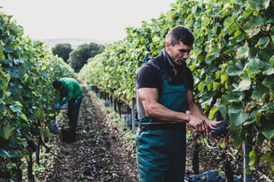 Man standing in a vineyard, harvesting bunches of black grapes.の写真素材 [FYI02265212]