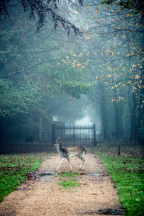 Deer on gravel path in park on a misty morning, iron gate in background.の写真素材 [FYI02265248]