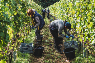 Group of people standing in a vineyard, harvesting bunches of black grapes.の写真素材 [FYI02265264]