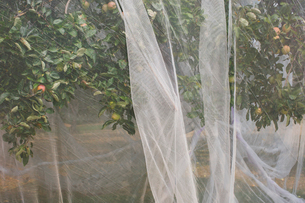 Protective mesh fabric covering apple trees bearing young fruit in summer in a commercial orchard. Pの写真素材 [FYI02265303]