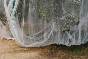 Protective mesh fabric covering apple trees bearing young fruit in summer in a commercial orchard. Pの写真素材 [FYI02265306]