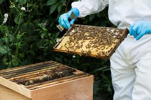Beekeeper wearing protective suit at work, inspecting wooden beehive.の写真素材 [FYI02265316]