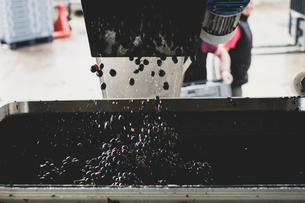 Close up of vat with black grapes at a vineyard.の写真素材 [FYI02265357]