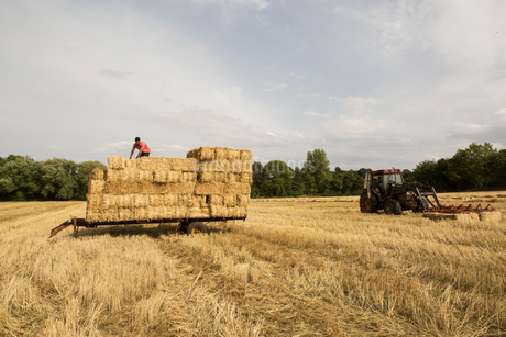 Farmer baling straw, standing on trailer on top of stack of straw bales.の写真素材 [FYI02265367]