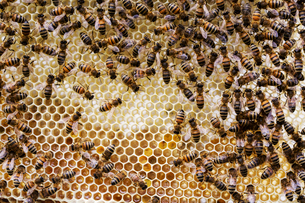 Close up of bees and honeycomb in wooden beehive.の写真素材 [FYI02265390]