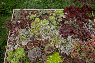 High angle view of flower bed with selection of succulent plants in a garden.の写真素材 [FYI02265406]