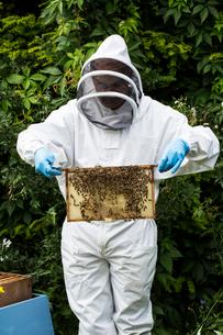 Beekeeper wearing protective suit at work, inspecting wooden beehive.の写真素材 [FYI02265411]