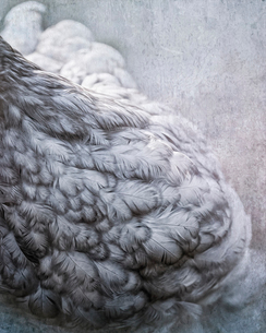 Composite image close up of black and white feathers on a henの写真素材 [FYI02265432]