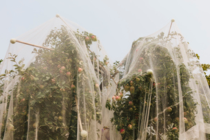 Protective mesh fabric covering apple trees bearing young fruit in summer in a commercial orchard. Pの写真素材 [FYI02265435]